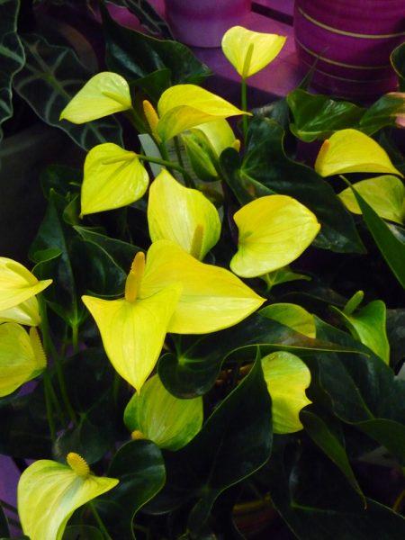 антуриум желтый