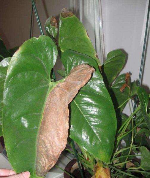 Желтеют листья у антуриума