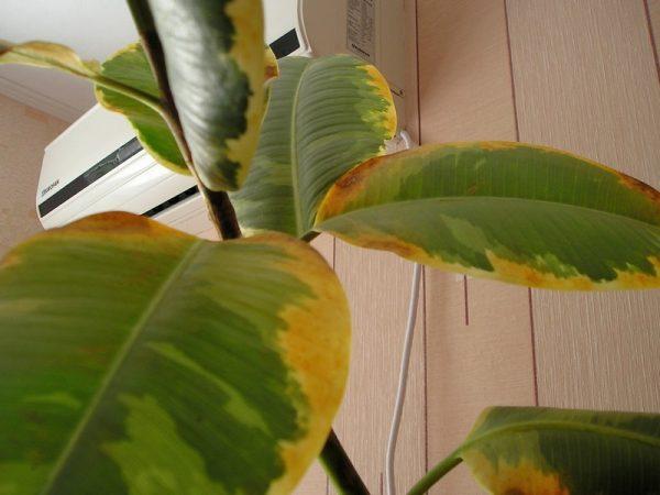 Почему желтеют листья у комнатных цветов что делать