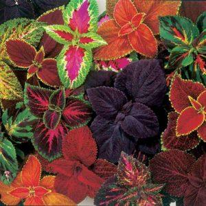 Цветок колеус уход в домашних условиях