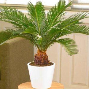 Размножение пальм в домашних условиях