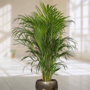 Пересадка пальм в домашних условиях