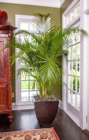 Арека – самая крупная пальма