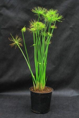 Циперус папирус – необычное экзотическое растение