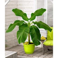 Банановое дерево комнатное – уход в домашних условиях.